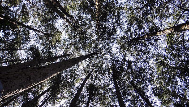 写真:林床から仰ぎ見たヒノキ林の樹冠(栃木県佐野市)